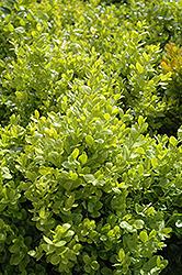 Dwarf English Boxwood (Buxus sempervirens 'Suffruticosa') at Roger's Gardens