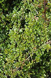 Box Honeysuckle (Lonicera nitida) at Roger's Gardens