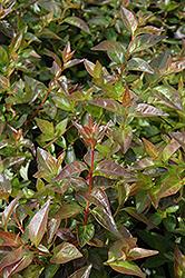 Edward Goucher Abelia (Abelia x grandiflora 'Edward Goucher') at Roger's Gardens