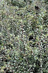Quicksilver Hebe (Hebe pimeleoides 'Quicksilver') at Roger's Gardens