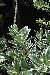 Variegated Hebe (Hebe speciosa 'Variegata') at Roger's Gardens