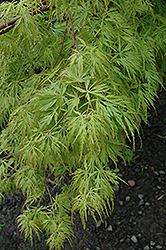 Seiryu Japanese Maple (Acer palmatum 'Seiryu') at Roger's Gardens