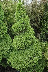 Dwarf Alberta Spruce (Picea glauca 'Conica (spiral)') at Roger's Gardens