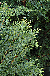 Leyland Cypress (Cupressocyparis x leylandii) at Roger's Gardens