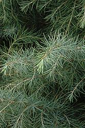 Deodar Cedar (Cedrus deodara) at Roger's Gardens