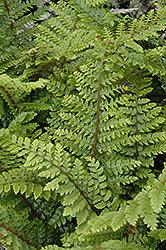 Japanese Tassel Fern (Polystichum polyblepharum) at Roger's Gardens