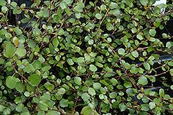 Wire Vine (Muehlenbeckia complexa) at Roger's Gardens