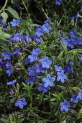 Grace Ward Lithodora (Lithodora 'Grace Ward') at Roger's Gardens