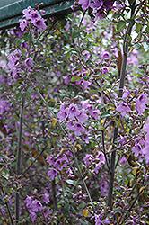 Round Leafed Mint Bush (Prostanthera rotundifolia) at Roger's Gardens