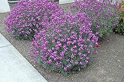 Bowles Mauve Wallflower (Erysimum 'Bowles Mauve') at Roger's Gardens