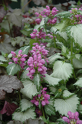 Ghost Spotted Dead Nettle (Lamium maculatum 'Ghost') at Roger's Gardens