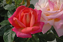 Chicago Peace Rose (Rosa 'Chicago Peace') at Roger's Gardens