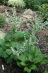 White Clary Sage (Salvia sclarea 'Alba') at Roger's Gardens