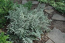 Japanese Painted Fern (Athyrium goeringianum) at Roger's Gardens