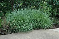 Little Kitten Dwarf Maiden Grass (Miscanthus sinensis 'Little Kitten') at Roger's Gardens