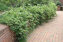 Amethyst Falls Wisteria (Wisteria frutescens 'Amethyst Falls') at Roger's Gardens