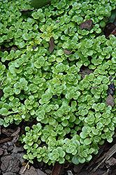 Limelight Stonecrop (Sedum makinoi 'Limelight') at Roger's Gardens