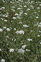 White Rose Campion (Lychnis coronaria 'Alba') at Roger's Gardens