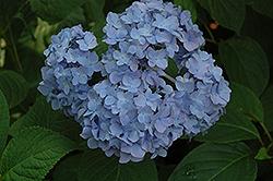 Nikko Blue Hydrangea (Hydrangea macrophylla 'Nikko Blue') at Roger's Gardens