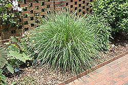 Fairy Tales Evergreen Fountain Grass (Pennisetum 'Fairy Tales') at Roger's Gardens
