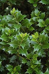 Upright False Holly (Osmanthus heterophyllus 'Fastigiata') at Roger's Gardens
