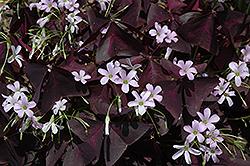 Purple Shamrock (Oxalis regnellii 'Triangularis') at Roger's Gardens