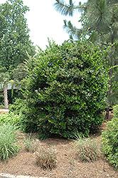 Japanese Privet (Ligustrum japonicum) at Roger's Gardens