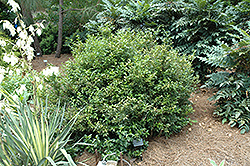Fragrant Sweet Box (Sarcococca ruscifolia) at Roger's Gardens