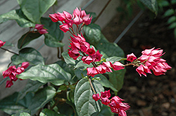 Flaming Glorybower (Clerodendrum splendens) at Roger's Gardens