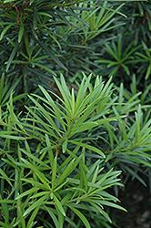 Japanese Yew (Podocarpus macrophyllus) at Roger's Gardens