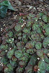 Bettina Rothschild Begonia (Begonia rex 'Bettina Rothschild') at Roger's Gardens