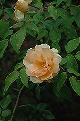 Sombreuil Rose (Rosa 'Sombreuil') at Roger's Gardens
