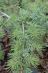 Gold Cascade Deodar Cedar (Cedrus deodara 'Gold Cascade') at Roger's Gardens