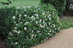 Radicans Miniature Gardenia (Gardenia jasminoides 'Radicans') at Roger's Gardens