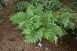 Autumn Fern (Dryopteris erythrosora) at Roger's Gardens