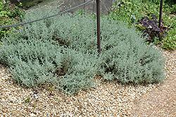 Dwarf Cotton Lavender (Santolina incana 'Nana') at Roger's Gardens