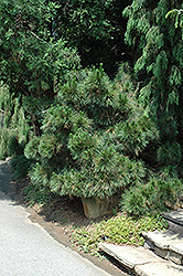Angelica's Thunderhead Japanese Black Pine (Pinus thunbergii 'Angelica's Thunderhead') at Roger's Gardens