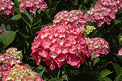 Forever Pink Hydrangea (Hydrangea macrophylla 'Forever Pink') at Roger's Gardens