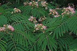 Mimosa (Albizia julibrissin) at Roger's Gardens