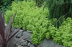 Golden Chamomile (Matricaria aurea) at Roger's Gardens