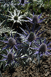Big Blue Sea Holly (Eryngium 'Big Blue') at Roger's Gardens