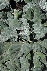 Silver Sage (Salvia argentea 'Artemis') at Roger's Gardens