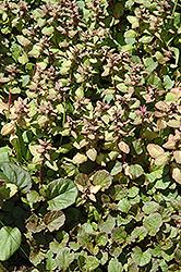 Jungle Beauty Bugleweed (Ajuga reptans 'Jungle Beauty') at Roger's Gardens