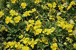 Endurio Pure Yellow Pansy (Viola cornuta 'Endurio Pure Yellow') at Roger's Gardens
