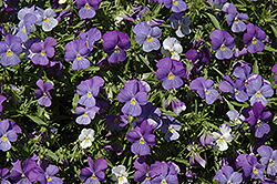Rain Blue and Purple Pansy (Viola x wittrockiana 'Rain Blue and Purple') at Roger's Gardens