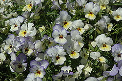 Endurio Blue Yellow with Purple Wing Pansy (Viola cornuta 'Endurio Blue Yellow Purple Wing') at Roger's Gardens