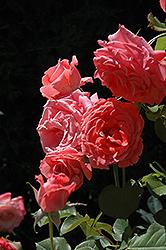 Climbing America Rose (Rosa 'Climbing America') at Roger's Gardens