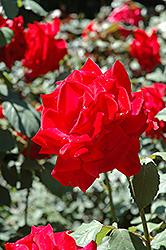Chrysler Imperial Rose (Rosa 'Chrysler Imperial') at Roger's Gardens