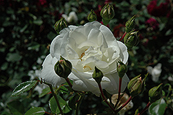 White Dawn Rose (Rosa 'White Dawn') at Roger's Gardens