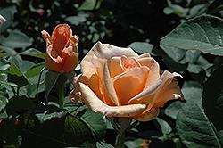 Sunset Celebration Rose (Rosa 'Sunset Celebration') at Roger's Gardens